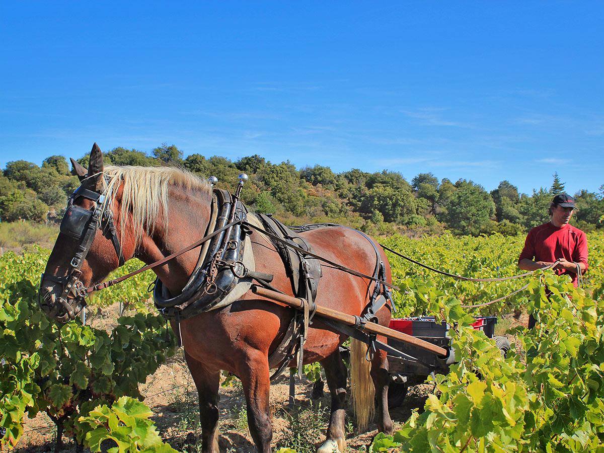 labour de vigne, Laurent et Tamanalou.